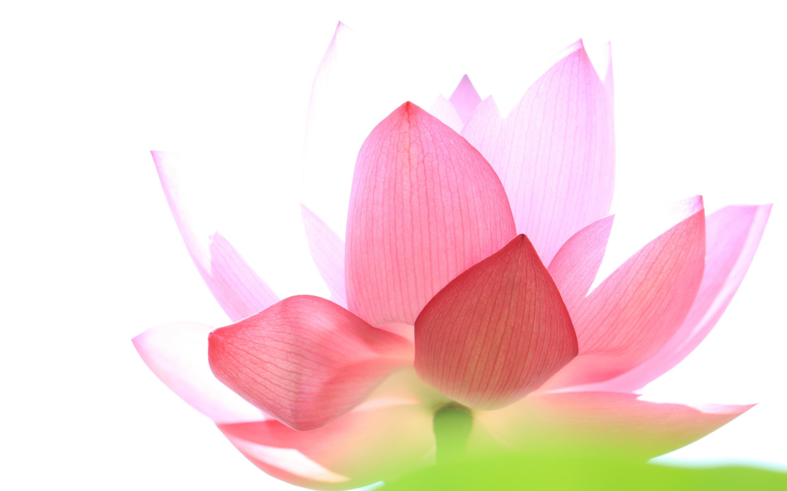 Giving Without Expectations Episcopal Lotus Flower In Bloom